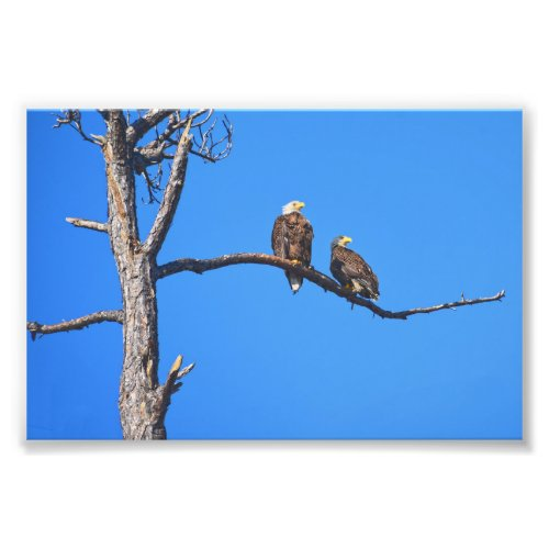 Bald Eagle Pair at Money Bayou, Florida Photo Print
