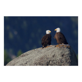 Bald Eagle Pair Poster