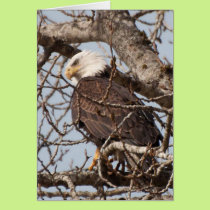 Bald Eagle Perched in a Tree Card