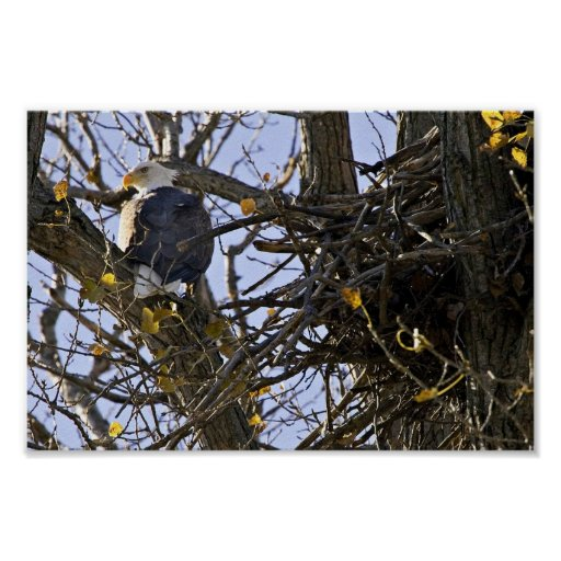 Bald eagle perched near its nest in tree print