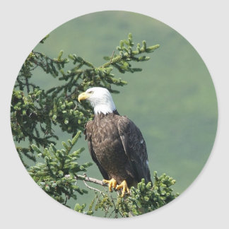 Bald Eagle Perched on a Tree Branch. Classic Round Sticker
