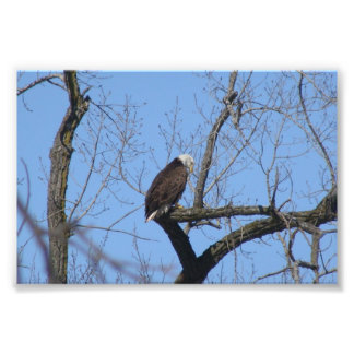 Bald Eagle Photo Art