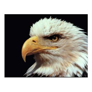 Bald Eagle Photograph Postcard
