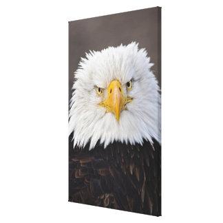 Bald Eagle Portrait, Bald Eagle in flight, Canvas Print