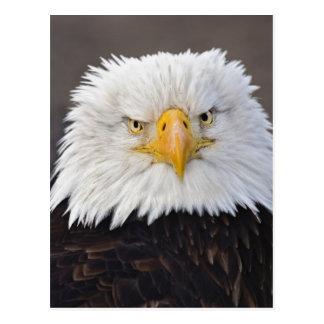 Bald Eagle Portrait, Bald Eagle in flight, Postcard