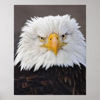 Bald Eagle Portrait, Bald Eagle in flight, Poster