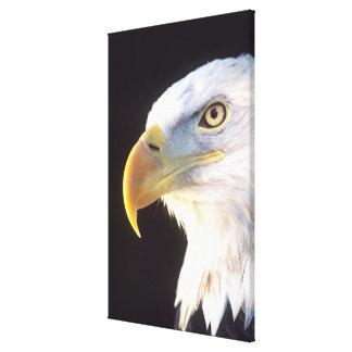 Bald Eagle Portrait, Haliaeetus leucocephalus, Canvas Print