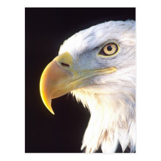 Bald Eagle Portrait, Haliaeetus leucocephalus, Postcard
