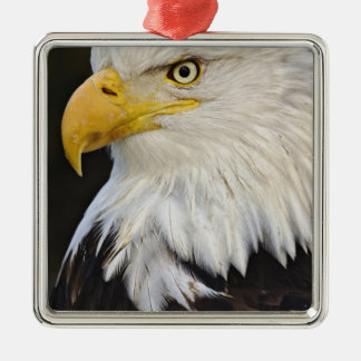 Bald Eagle portrait, Haliaetus leucocephalus, Metal Ornament