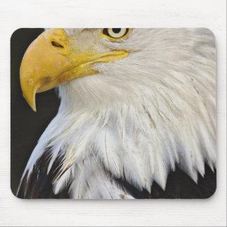 Bald Eagle portrait, Haliaetus leucocephalus, Mouse Pad