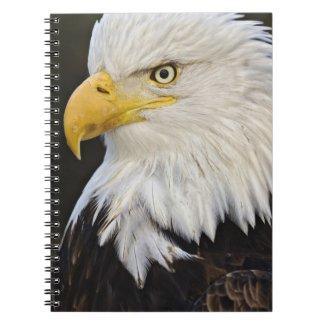 Bald Eagle portrait, Haliaetus leucocephalus, notebook
