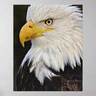 Bald Eagle portrait, Haliaetus leucocephalus, Poster