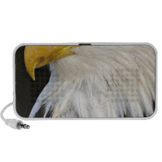 Bald Eagle portrait, Haliaetus leucocephalus, Travelling Speaker