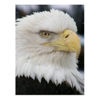 Bald Eagle Portrait Photo Postcard