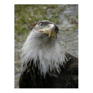 Bald Eagle Portrait, Young Adult Postcard