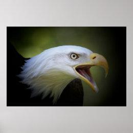 Bald Eagle poster print