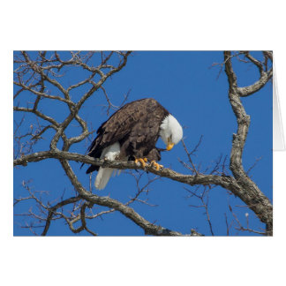 Bald Eagle Preening Card