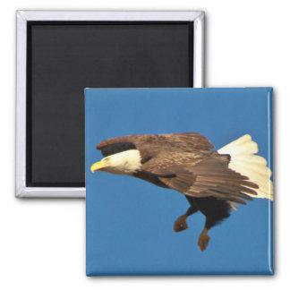 Bald Eagle prepares for landing 2 Inch Square Magnet