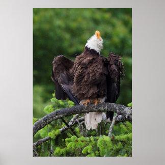 Bald Eagle, Rain Shower Poster