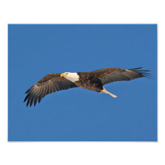 Bald Eagle Sky High Photo Print