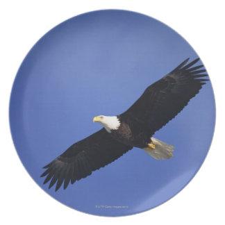 Bald eagle soaring , Alaska Plate