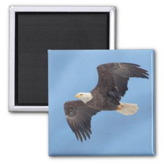 Bald Eagle taking flight Magnet