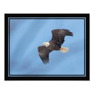 Bald Eagle taking flight Photo Print