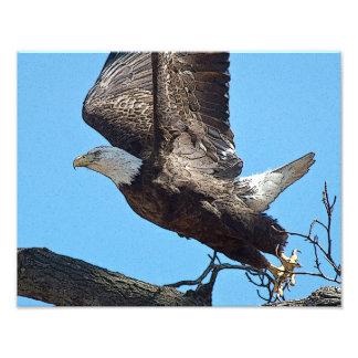 Bald Eagle taking off Photo Print