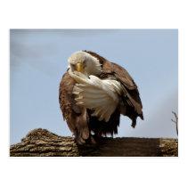 Bald Eagle (The bird giving the bird) Postcard