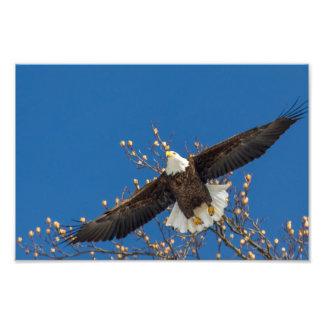 Bald Eagle Up Photo Print