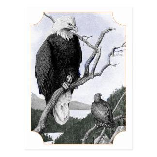 Bald Eagle Vintage Illustration Postcard