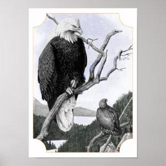 Bald Eagle Vintage Illustration Poster