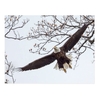 Bald Eagle Wingspread Postcard