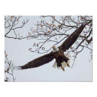 Bald Eagle Wingspread Poster