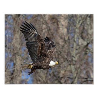 Bald Eagle with a Catfish Photo Print