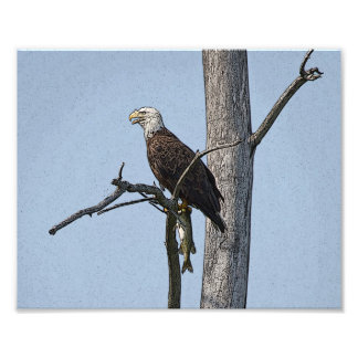 Bald Eagle with a fish Photo Print