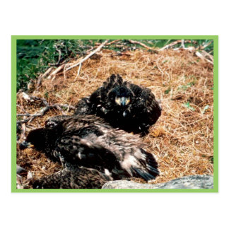 Bald Eagle Young in Nest Postcard