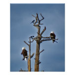 Bald Eagles and Magpies Posters