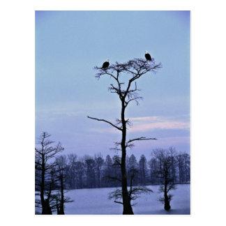 Bald Eagles at Reelfoot National Wildlife Refuge Postcard