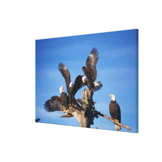 bald eagles, Haliaeetus leuccocephalus, Canvas Print