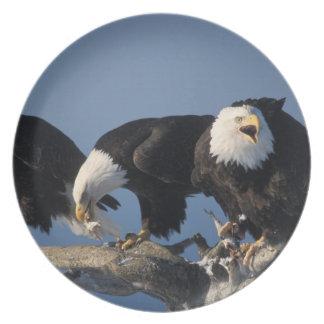 bald eagles, Haliaeetus leuccocephalus, Dinner Plate