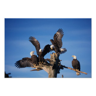 bald eagles, Haliaeetus leuccocephalus, Poster