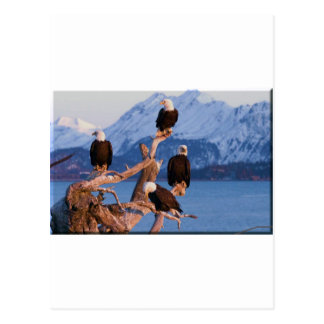 Bald Eagles Homer Alaska Postcard