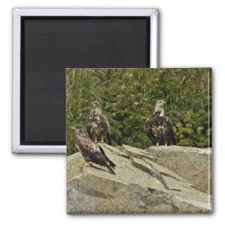 Bald Eagles,juveniles, Castle Rock, Shumagin Islan Magnets