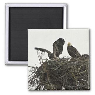 Bald Eagles nesting at Islands and Ocean Visitor C Fridge Magnet