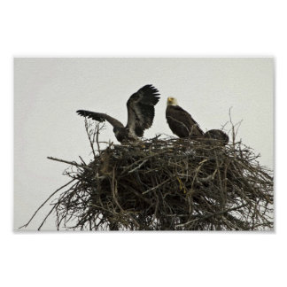 Bald Eagles nesting at Islands and Ocean Visitor C Poster