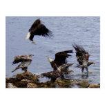 Bald Eagles on the Beach, Unalaska Island Postcards