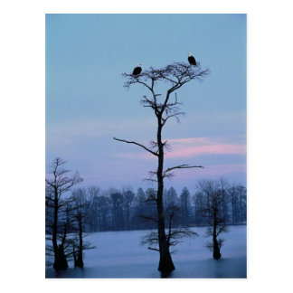Bald eagles on top of a tree postcard