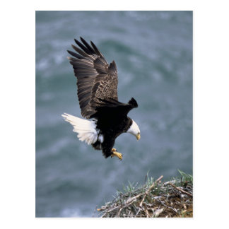 Bald Headed Eagle Postcard