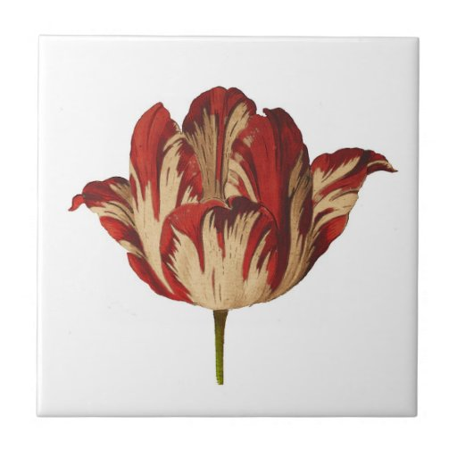 Baldosa cerámica del tulipán botánico de Rembrant  Azulejo Cuadrado Pequeño